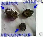 アネモネの種