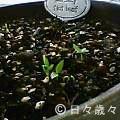 パセリの芽