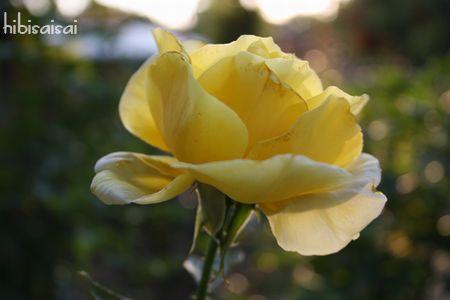 上坂部西公園の黄色いバラ