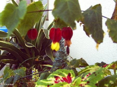 コリウスと赤い花