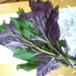 加賀野菜の「金時草」を買ってみた