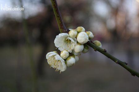 八重咲きでボリュームのある緑咢