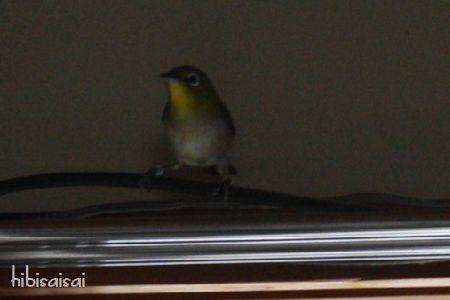 日食で部屋に飛び込んできた小鳥