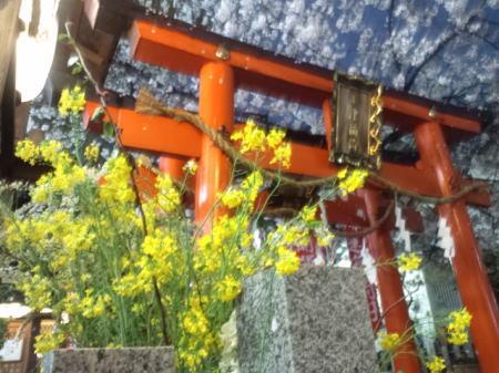 お初天神の桜と菜の花