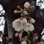 2013年 桜開花予想、2月7日の謎