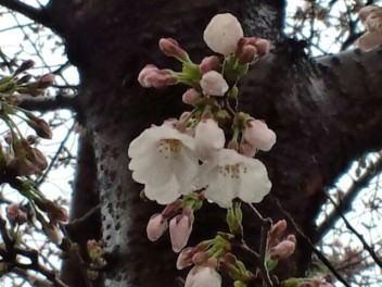 雨の中の桜