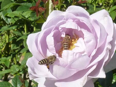 ブルー バユーと蜜蜂