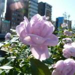 水都大阪フェス2012で楽しむ 中之島バラ園の秋バラ