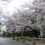 大阪府立中之島図書館 雨降る桜