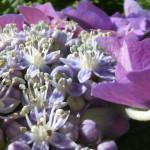 花言葉では「移り気」な紫陽花も、厄除けになるってご存知でした?