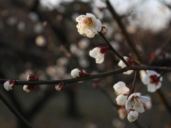 1月の花 梅