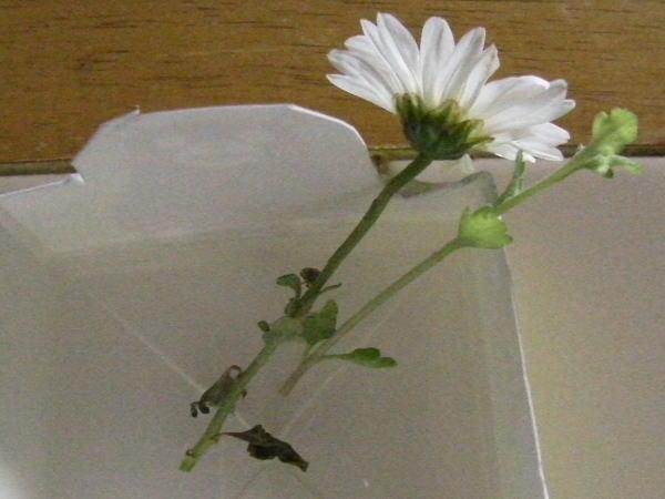 牛乳パックで花を生ける
