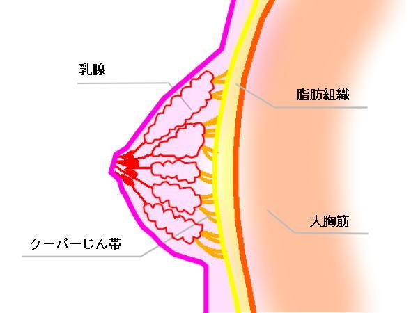乳房の模式図