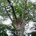 京都御苑の木