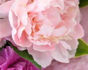 シャクヤクの花弁