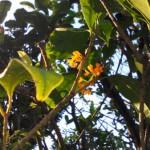 夕日に染まるキンモクセイの花2015