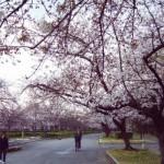 毛馬桜之宮公園の桜 桜、ちらほら