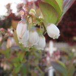 お庭にブルーベリーがあったなら… 父の日に人気の花鉢で楽しむ四季の移ろい