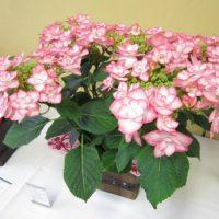 アジサイ ピンキーリングの花鉢